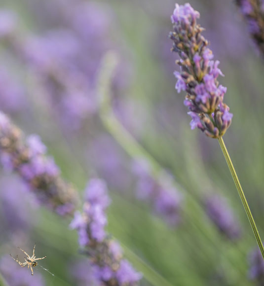A sprig of Vaucluse lavender