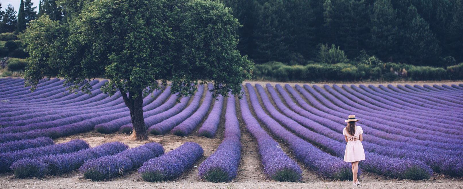 Lavender field in Vaucluse Provence © Coquard