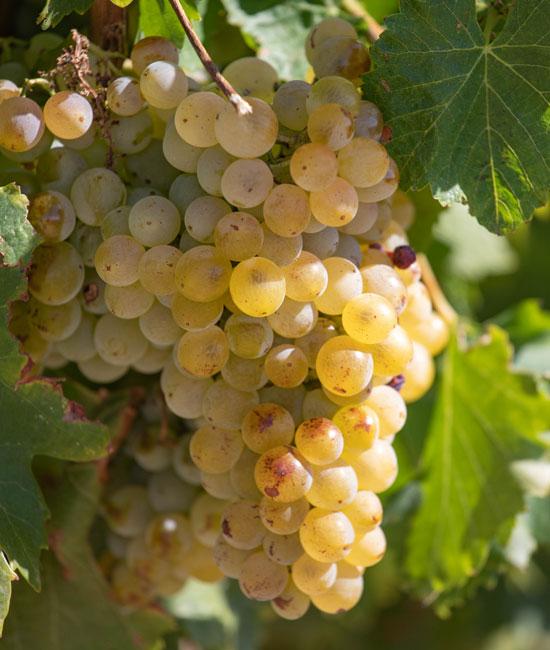 Vaucluse grape varieties.