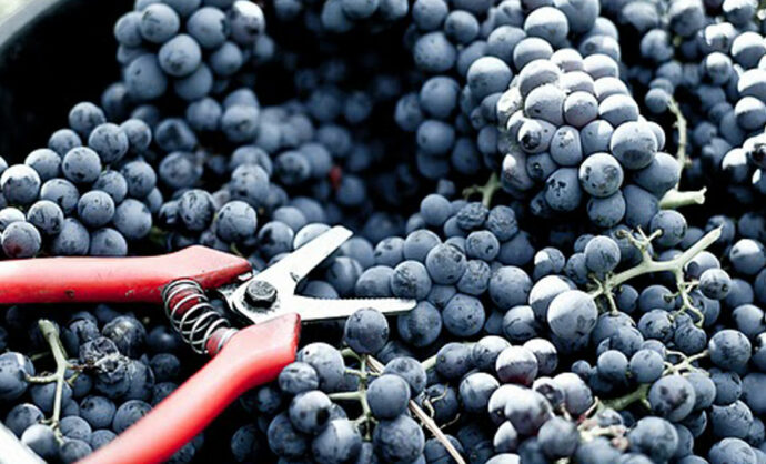 Harvest time in Vaucluse