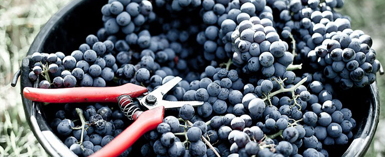 Harvest time in Vaucluse © Chateau-Pesquier